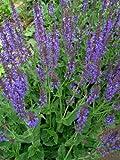 Staudenkulturen Wauschkuhn Salvia nemerosa 'Mainacht'- Salbei - Staude im 9cm Topf