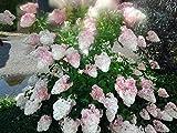 Rispenhortensie `Vanille Fraise´, Hydrangea, mehrfach verzweigt, 40-60cm, im Topf