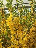 Forsythie Lynwood 40-60 cm Strauch für Sonne-Halbschatten Zierstrauch gelb blühend Gartenpflanze winterhart 1 Pflanze im Topf