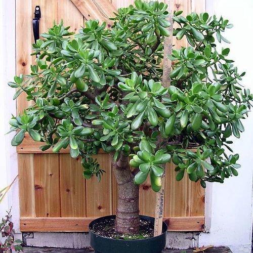 Vivai le georgiche crassula ovata albero di giada vaso 10 cm for Magnolia pianta prezzi