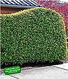 BALDUR-Garten Portugiesischer Kirschlorbeer immergrün 1 Pflanze Prunus lusitanica winterhart