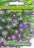 Blaues Gänseblümchen Brachycome iberidifolia Ampel- und Rabattenpflanze