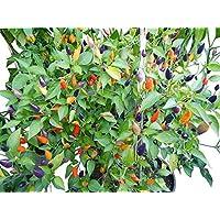 Numex Twilight 10 Samen *Mini-Chili* mit sehr guten Ertrag WOW ''' Ähnliches Farbspektakel wie die Bolivien Rainbow'''