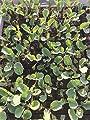 Blumenkohl, 12 Pflanzen, Gemüsepflanzen von Weseler Kräuterparadies - Du und dein Garten