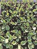 Blumenkohl Pflanzen, Jungpflanzen, Blumenkohl im 10er Set