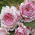 Kordes Rosen Strauchrose, Alexandra-Princesse de Luxembourg, rosa, 12 x 12 x 40 cm, 54-31 von W. Kordes' Söhne bei Du und dein Garten
