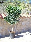 Orangenbaum, Citrus - sinensis naranjo, Verschiedene Sorten ca. 160 cm hoch