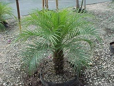 Phoenix roebelenii ca. 160 cm. Kräftige Zwerg Dattelpalme Zimmerpalme von Roller`s Palmenhandel auf Du und dein Garten