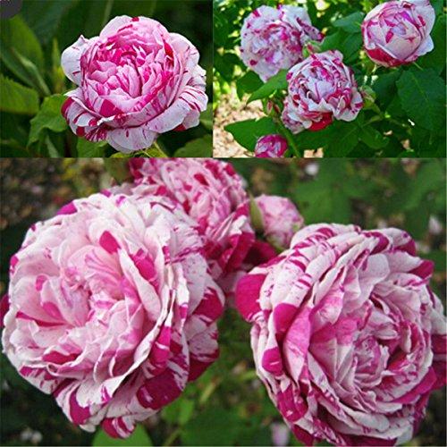 50pcs-chinesischen-rosen-samen-lila-weie-rosen-blumen-garten-zierpflanze
