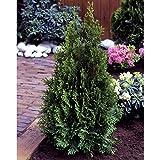 Thuja occidentalis Smaragd. Abendländischer Lebensbaum. 40/60 cm 2 Pflanzen - zu dem Artikel bekommen Sie gratis ein Paar Handschuhe für die Gartenarbeit dazu