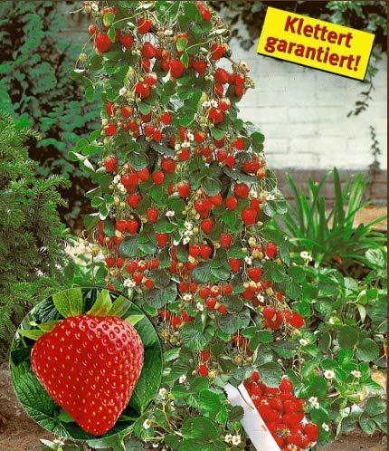 Keland Garten - Rarität Erdbeerpflanze Klettererdbeere Mountainstar 50/100pcs Kletterpflanzen Obstsamen Saatgut winterhart mehrjährig auf der Terrasse oder dem Balkon