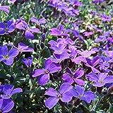 Brightup 100pcs Purple Flower Pétunia Hybrida graines potagères vivaces Couvre-sol Plante