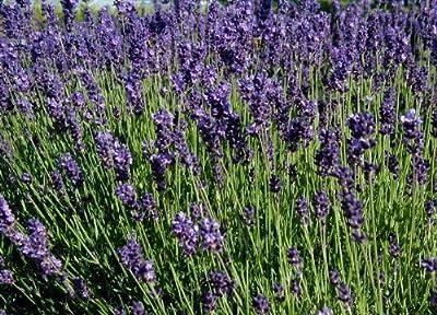 250 Samen vom Echten Lavendel -Lavandula angustifolia- -Vertreibt Mücken- von Samenchilishop auf Du und dein Garten