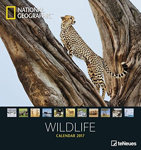 Wildlife 2017 - National Geographics Fotokalender, Naturkalender, Tierkalender - 45 x 48 cm - Cheetah Wohnungen
