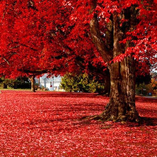 begorey Garten - Mehrjährige Red Maple Tree Seeds Landschaft Pflanzensamen Blumensamen