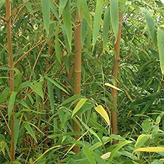 YouGarden Bamboo Plants, Yellow (Pair)
