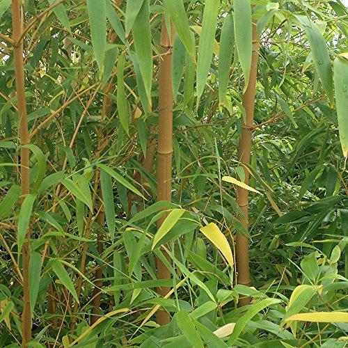 yellow-bamboo-plants-pair-12m-tall