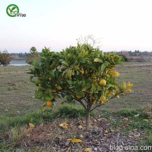 Vente chaude! 30 graines Hardy Orange amère, Poncirus trifoliata, (Showy, odorant, comestibles) - Nouveaux Arcis