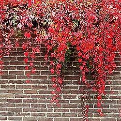 Keptei Samenhaus- Selten Bunter Efeu Parthenocissus Samen (Wilder Wein) Garten Kletterpflanzen Anti Strahlungs im Freienzucht Dekor Saatgut winterhart