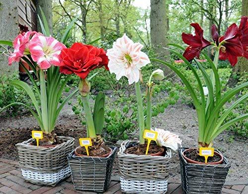 2016 Hippeastrum graines bulbes bonsaï amaryllis barbade jardin potager lily bricolage lys en pot 100pcs graines bonsaï balcon de fleurs / sac