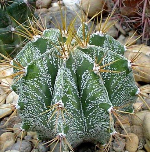 Astrophytum ornatum - 100 Graines
