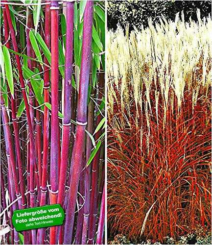 BALDUR-Garten Gräser-Kollektion winterhart, 2 Pflanzen rote Bambus Chinese Wonder Fargesia jiuzhaigou No.1 und Ziergras Indian Summer Chinaschilf