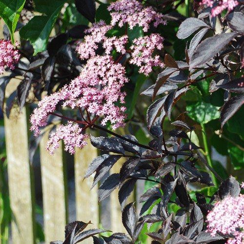 Plant World Seeds - Sambucus Nigra Dark Leaf Forms Seeds