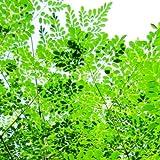 Future Exotics 1 Moringa oleifera Wunderbaum Meerrettichbaum Herkunft aus Thailand