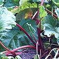 Rhabarber Pflanze Canada Red, kräftig rotstielige Sorte, muss nicht geschält werden, im 2 Liter Topf von Grüner Garten Shop bei Du und dein Garten