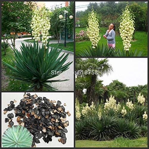 FARMERLY Samen Paket: 50pcs Frische Echt Yucca gloriosa Meere Bonsai Meere