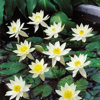 Seerose Nymphaea Pygmaea Helvola von Meingartenshop auf Du und dein Garten