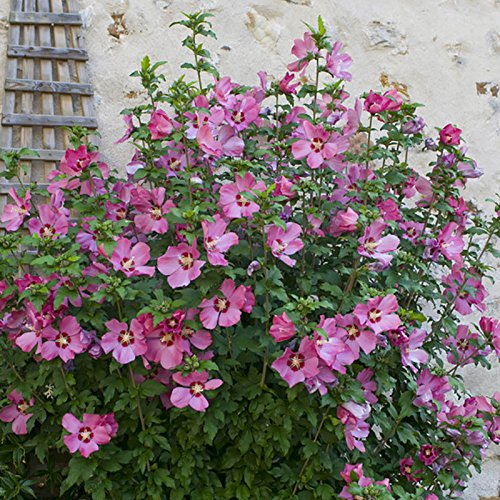 hardy-hibiscus-collection-with-3-bushes-in-3-colours