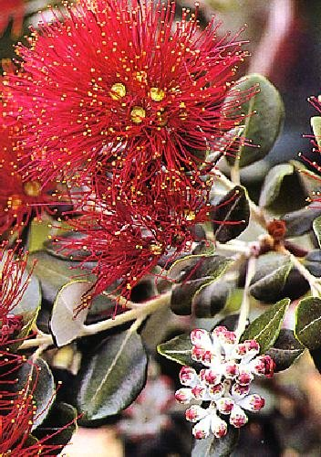 Wissenswertes (Cyphomandra betacea)