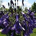 Schmucklilie, Agapanthus africanus blau von VDG-Stauden - Du und dein Garten