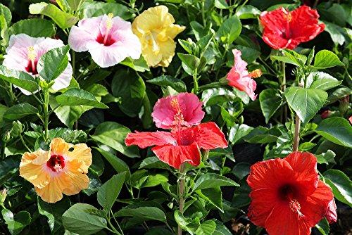 Hibiskus Syriacus 5 Samen Mischfarben, Roseneibisch, Syrische Eibisch
