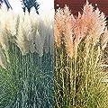 Pampasgras Kombination rosa und weiß von Meingartenshop - Du und dein Garten