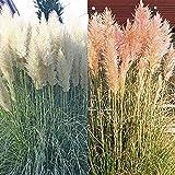 Cortaderia / Herbe des Pampas rose/blanche - 2 plantes
