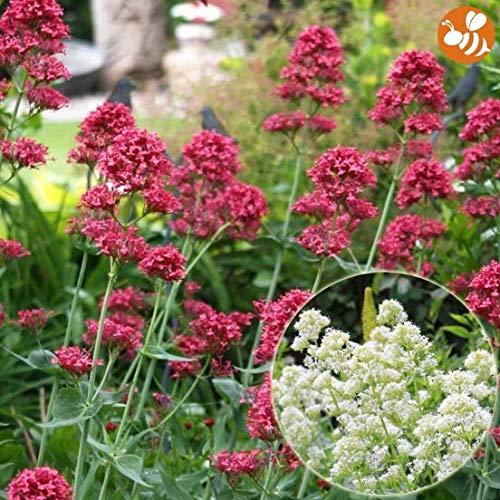 Qulista Samenhaus - 100pcs Rarität Duftend Spornblumen 'Nützlingsmagneten für Bienen und Schmetterlinge Blumensamen bienenfreundlich winterhart mehrjährig
