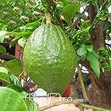 Graines Bonsai Noir Bamboo Seeds Phyllostachys Nigra usine de décoration graines de jardin noir culmed bambou rugueux - graines 100pcs B49