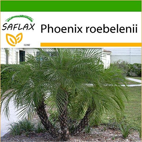 SAFLAX - Zwerg - Dattelpalme - 25 Samen - Mit Substrat - Phoenix roebelenii