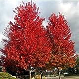 Acer rubrum - kanadischer Rotahorn - 20 Samen