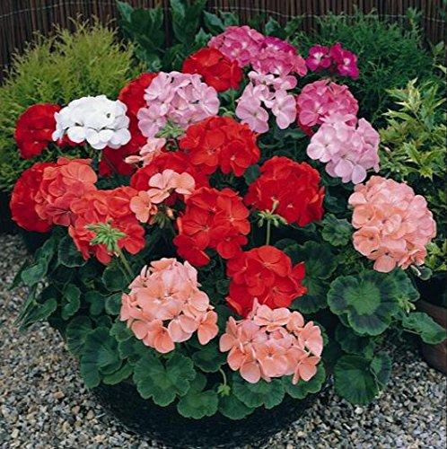 Deux couleurs Rouge Blanc univalve Géranium Graines Graines de fleurs vivaces Pelargonium peltatum Semences pour 100 graines Pièces d'intérieur/Sac 3
