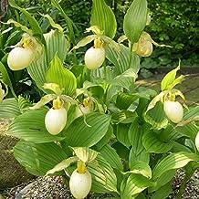 White Garden Orchid ❀ Cypripedium fasciolatum ✿ Trendy garden