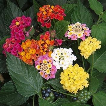 Plant World Seeds - Lantana Camara Seeds