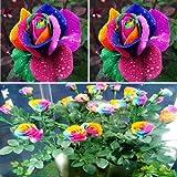 Rare Rose Flower Live Plant ' Multicolour Rainbow ' Rose Flower Plant (1 Healthy Live Plant)