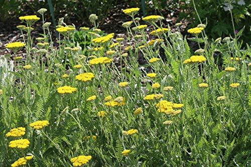 Achillea filipendulina 'Coronation Gold' - 3 Pflanzen im 1 lt. Rundtopf