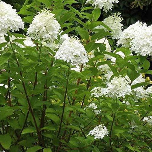 Hydrangea Paniculata 'Grandiflora' - Hardy white-flowered hydrangea 40-50 cm Pflanzcontainer