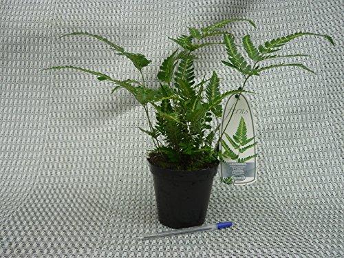 Schildfarn- Arachnoides aristata 'Variegata'- 10 Stück- Gesamthöhe: 30+cm, topf: 0,7 ltr.