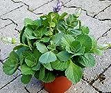 "Coleus Canin ""Verpiss-Dich®""-Pflanze"