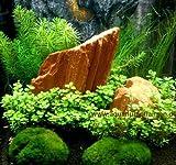 Nano 12, Wasserpflanzen Set f Nanoaquarium 15-25 l